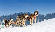 Dog Sled Team - Taking a Risk