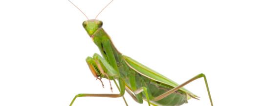 Instinctual Focus – Decision Making and the Praying Mantis